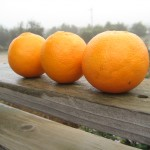 Three blood oranges in a row on a wooden railing with the farm in the background.