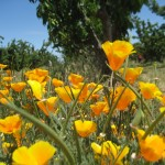 California poppies growing along the lane in our orchard.