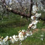 Early Spring in the Orchard