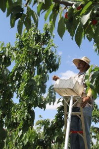 A man on a tall ladder picking cherries high in a tree.