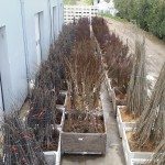Asian pear tree plantings
