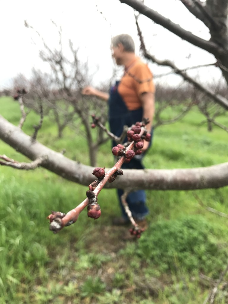 Apricot buds in the red bud stage