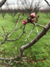 Apricot buds in the popcorn stage