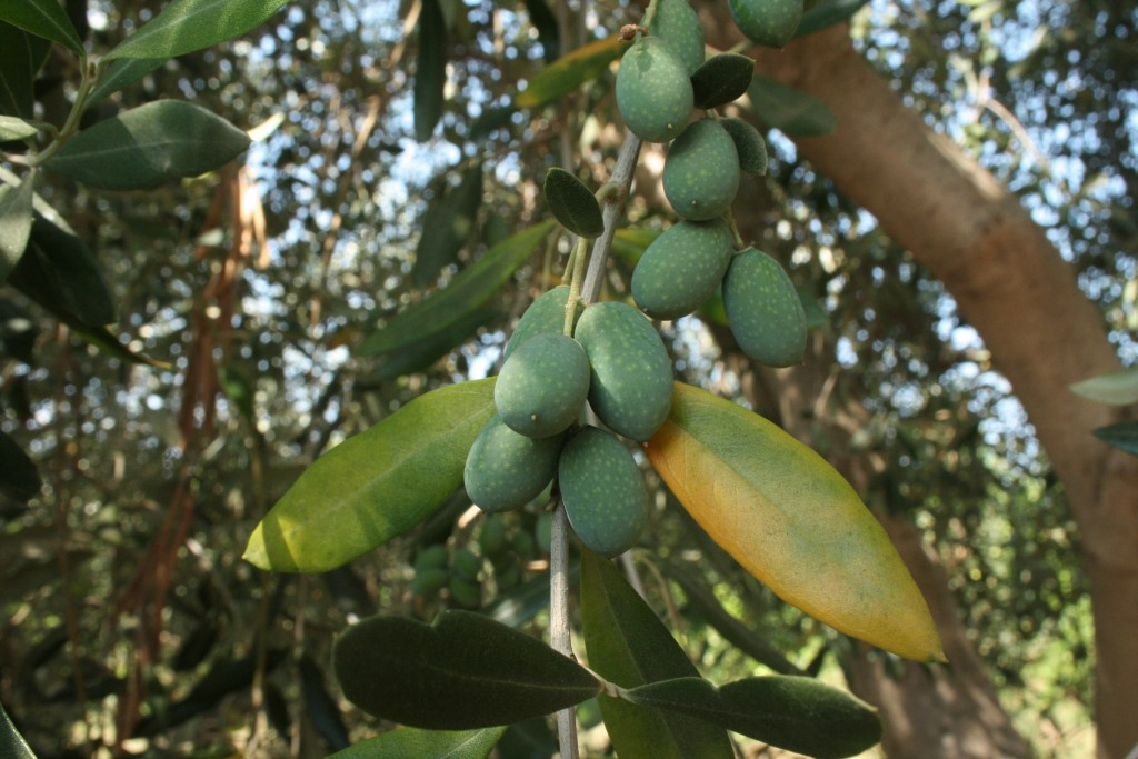 Olives plumping up on the trees
