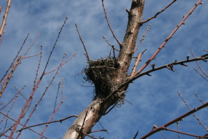 This time of year it is easy to see old bird nests among the bare branches