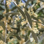 close up of an olive branche laden with tiny yellow white flowers