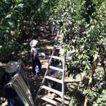orchard laddersweb
